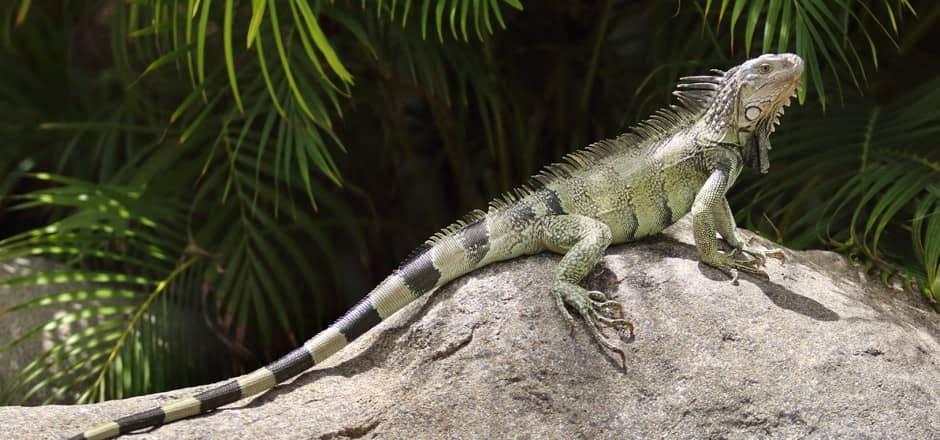 Vallarta Vacation: Iguanas & More Iguanas
